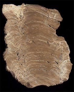 Cross section of stromatolite showing the layered structure