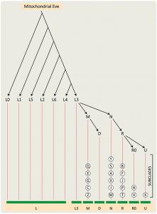 Mitochondrial DNA Haplogroups